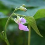 green-bean-blossom
