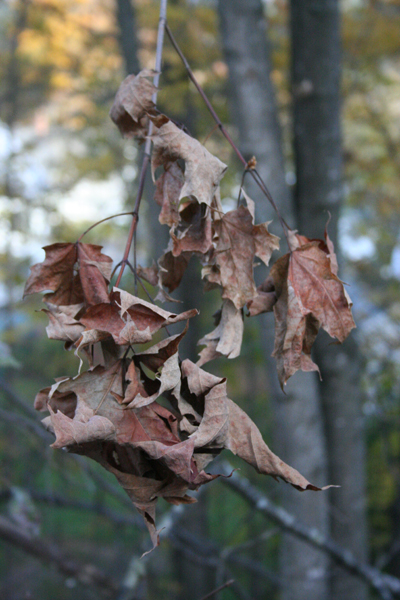 shriveled leaves