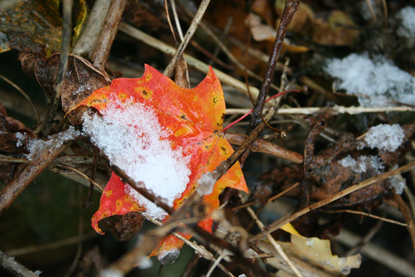 snow on fall leaf